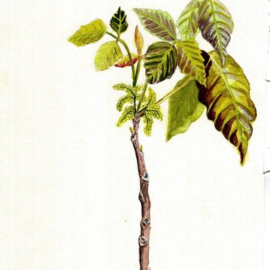 Toxicodendron - Poison Ivy