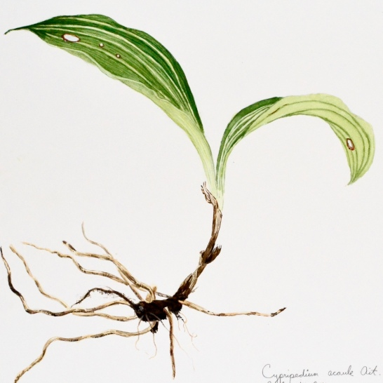 Cypripedium - Lady's Slipper