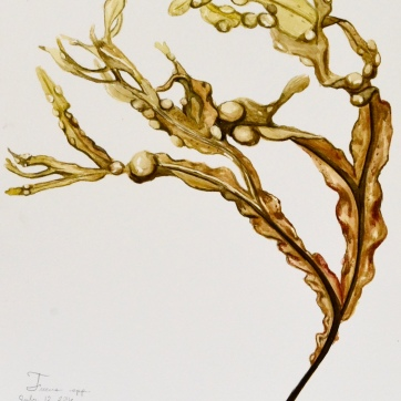 Seaweed Study